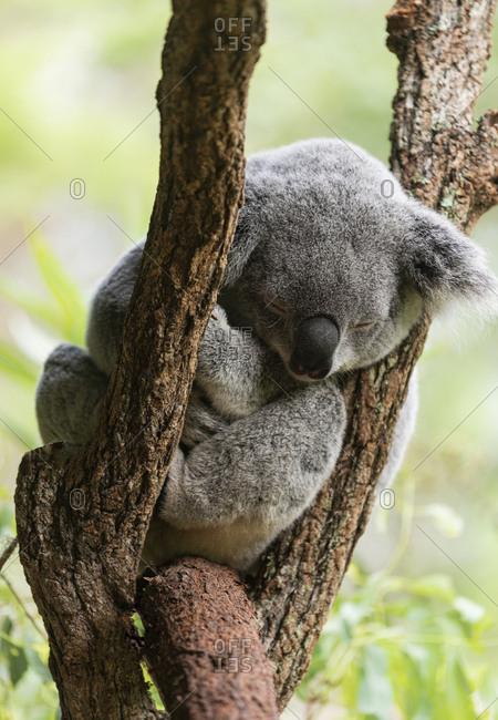 Close up of a koala sitting in a tree in Noosa, Australia