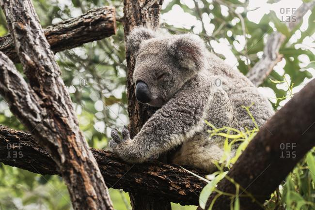 A koala sitting in a tree in Noosa, Australia