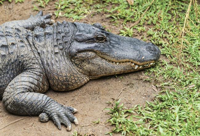 A crocodile in Queensland, Australia