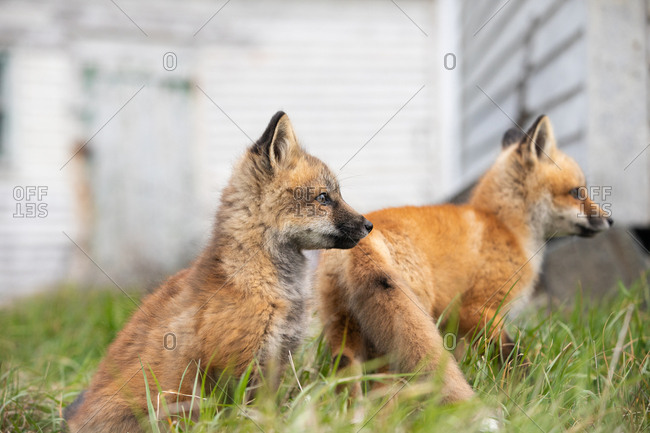 Two young foxes playing in the grass