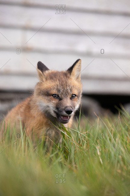 A young fox in tall grass