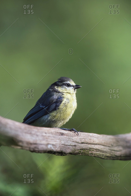 Young great tit bird perched on a tree branch