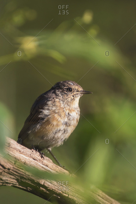 Young robin perched on a tree branch