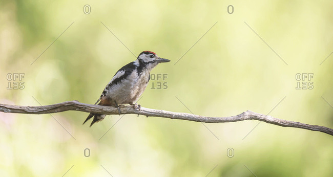 Great spotted woodpecker on a tree branch