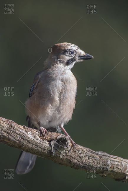 Young jay bird on a tree branch