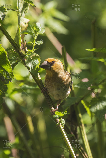 Chestnut-bellied Seed Finch perched on plant