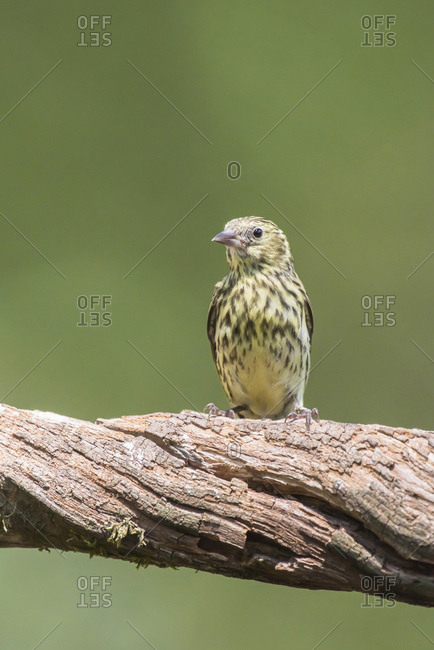Young yellowhammer bird perched on a tree branch