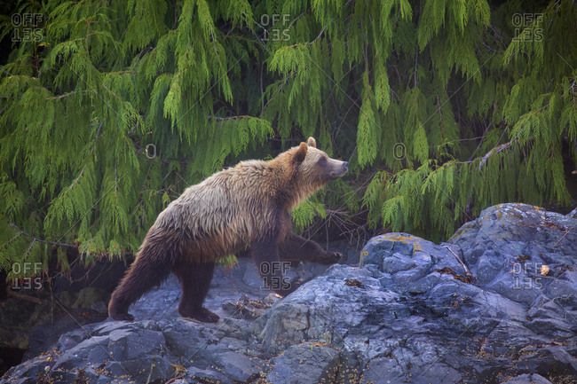 Grizzly bear on rocky shoreline, Telegraph Cove, British Columbia, Canada