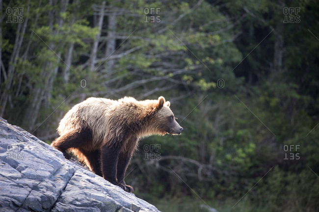 A grizzly bear on rocky shoreline, Telegraph Cove, British Columbia, Canada