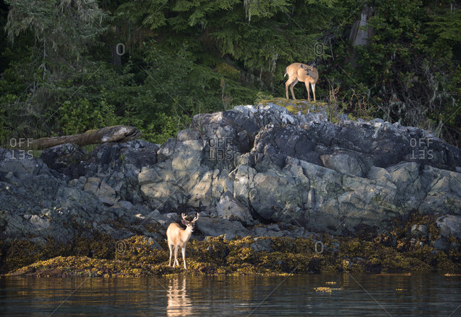 Deer on shoreline looking for food, Telegraph Cove, British Columbia, Canada