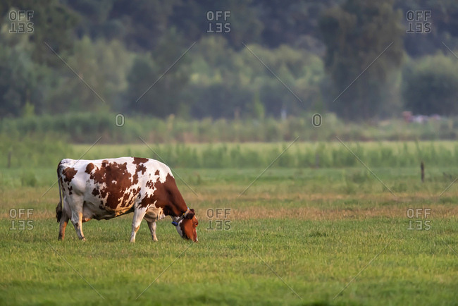 Spotted cow grazing in a pasture