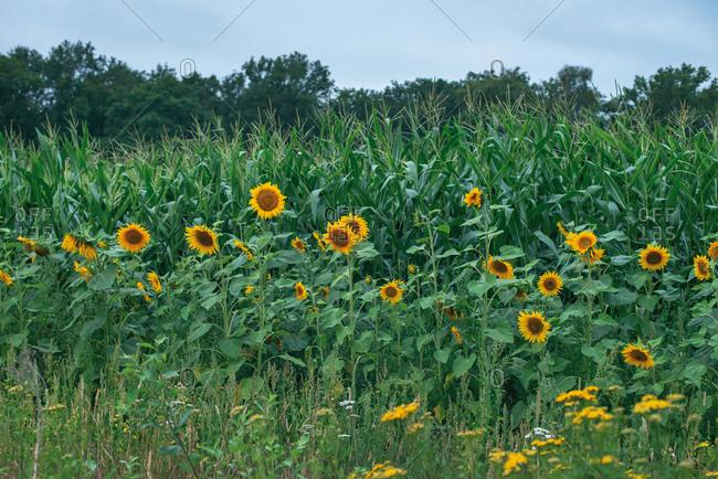 Field of tall yellow sunflowers