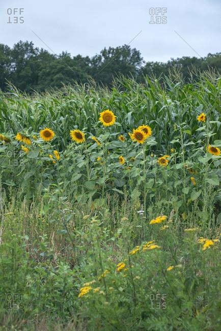 Field of yellow sunflowers in front of cornstalks
