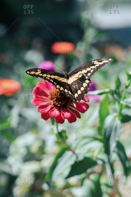 Butterfly on a pink flower with wings spread
