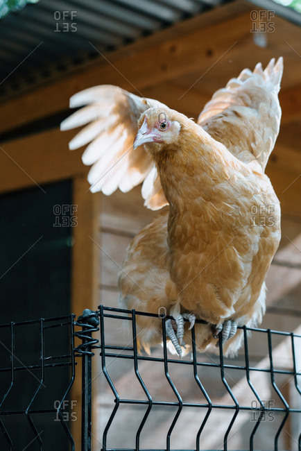 Red hen flapping wings while perched on fence by chicken coop