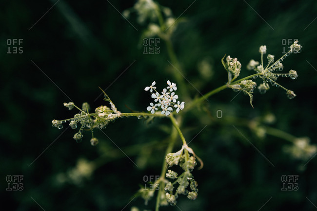 Small white flowering plant covered in water droplets