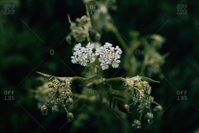 White flowering plant covered in water droplets