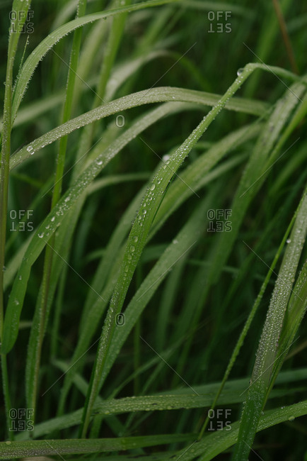 Close up of water droplets on tall blades of grass