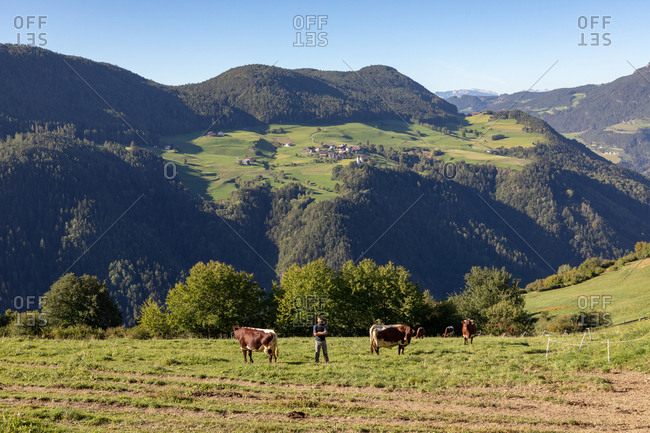 Farmer standing in field with cows, South Tyrol, Italy