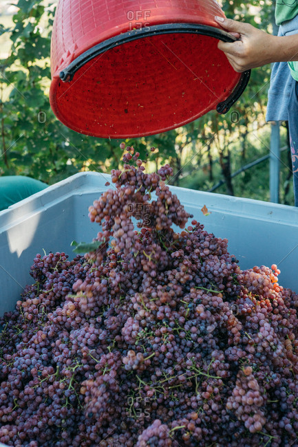 Person dumping fresh harvested grapes into container in South Tyrol, Italy