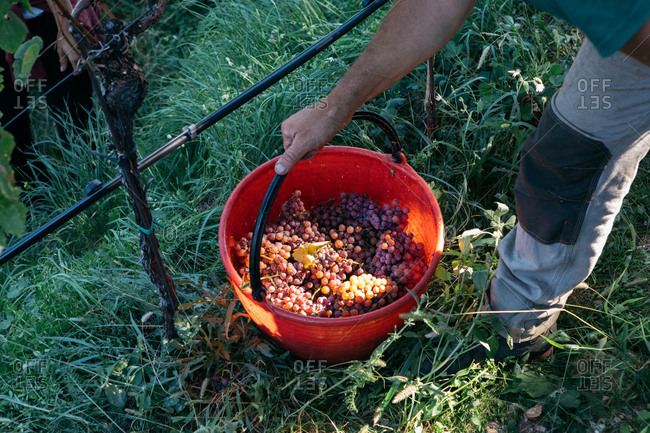 Person lifting bucket of fresh harvested grapes in South Tyrol, Italy