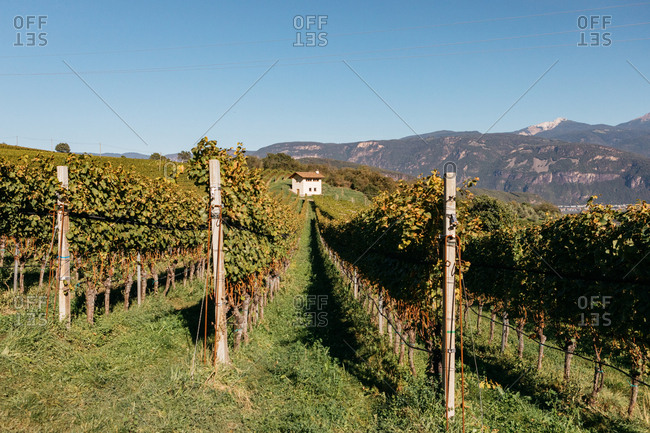 Beautiful vineyard in South Tyrol, Italy