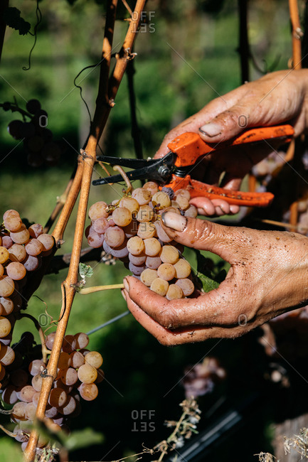 Hands harvesting grapes from vine with shears in South Tyrol, Italy