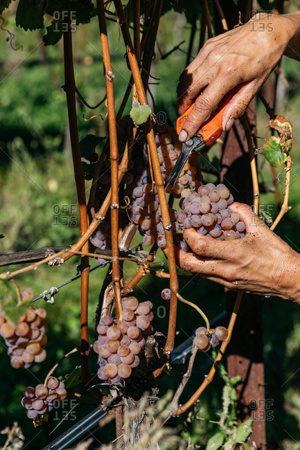 Hands harvesting grapes from vineyard with shears in South Tyrol, Italy