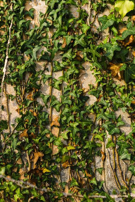 Climbing plant on stone wall