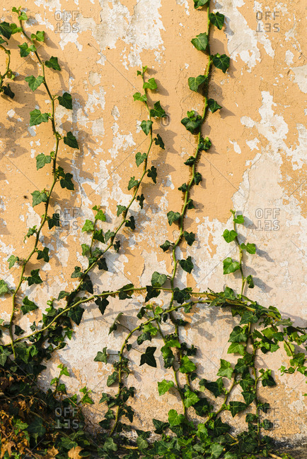 Climbing plant on chipped wall