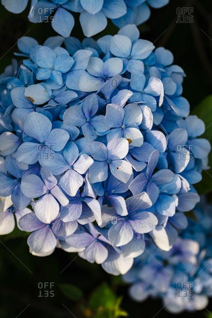 Close up of blue hydrangea plant