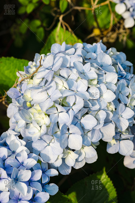 Close up of blue hydrangea plant blossoming