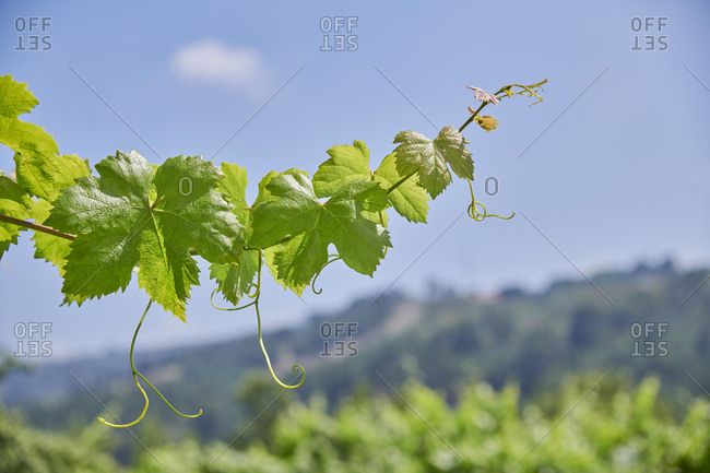 Vine leaf in Marco de Canaveses, Portugal