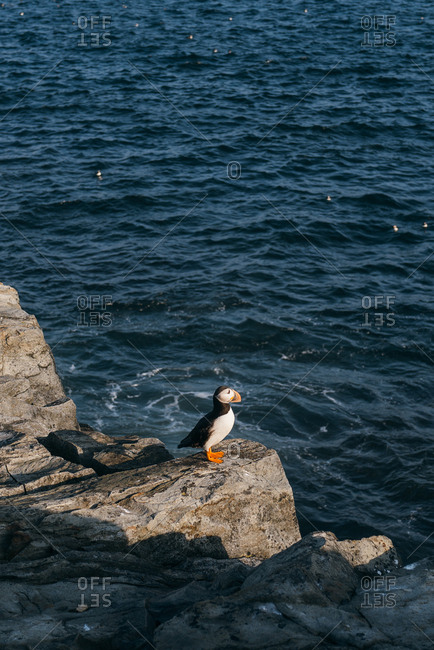 Atlantic puffin (Fratercula arctica) alone on rocky coast