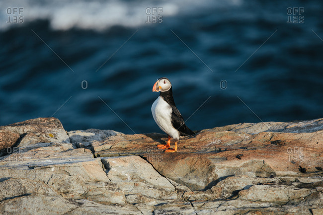 An Atlantic puffin (Fratercula arctica) alone on rocky coast