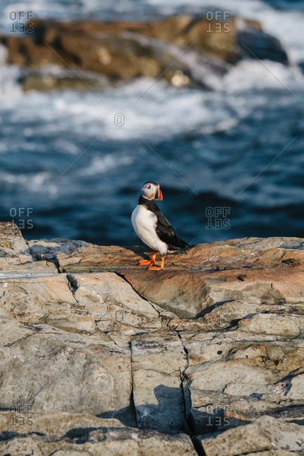 An Atlantic puffin (Fratercula arctica) alone on rocky cliff