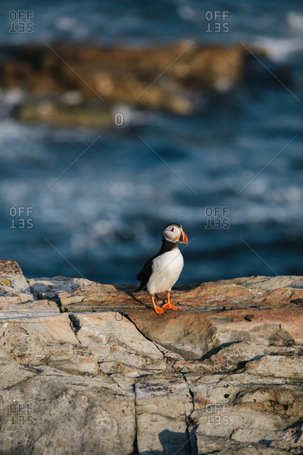 A single Atlantic puffin (Fratercula arctica) standing on rocky coast