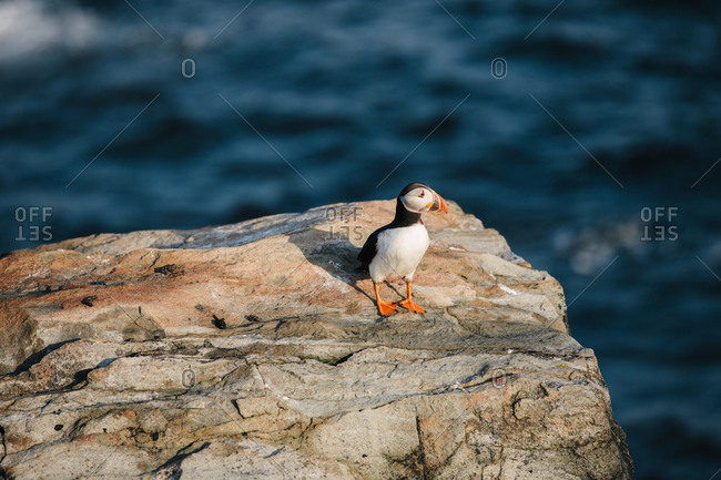 An Atlantic puffin standing alone on rocky coast