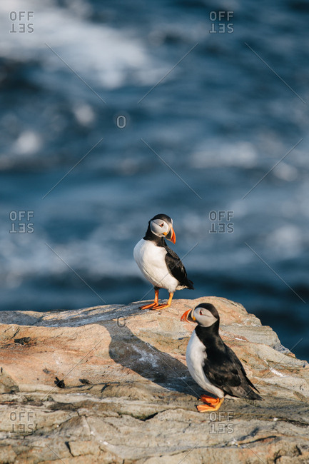 Two Atlantic puffins (Fratercula arctica) together on rocky coast