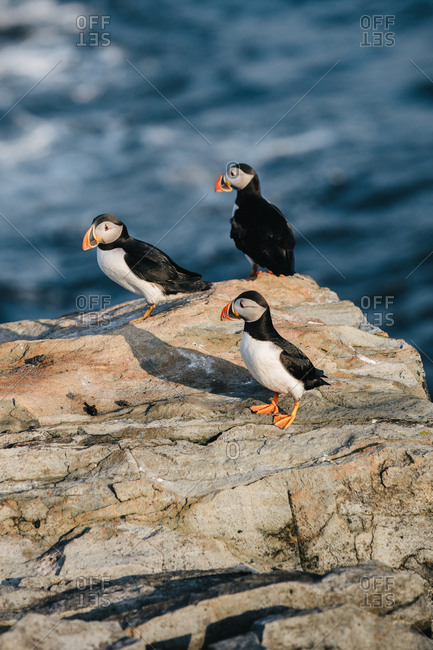Three Atlantic puffins (Fratercula arctica) together on rocky coast