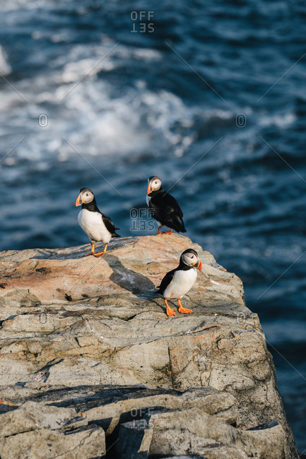 Three Atlantic puffins standing on rocky coast