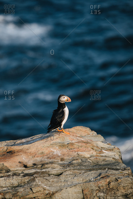 One Atlantic puffin (Fratercula arctica) alone on rocky coast