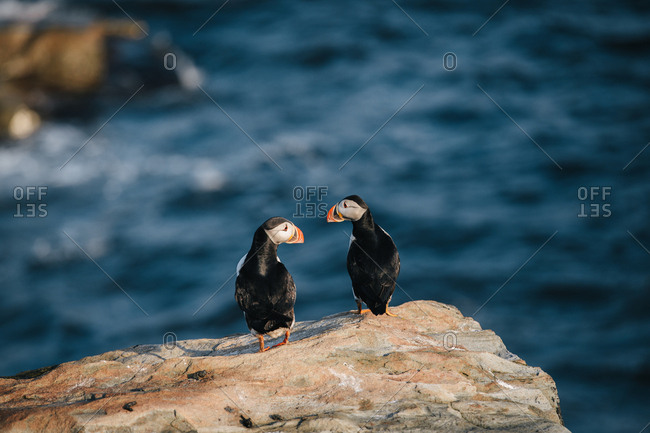 Two Atlantic puffins standing together on rocky coast