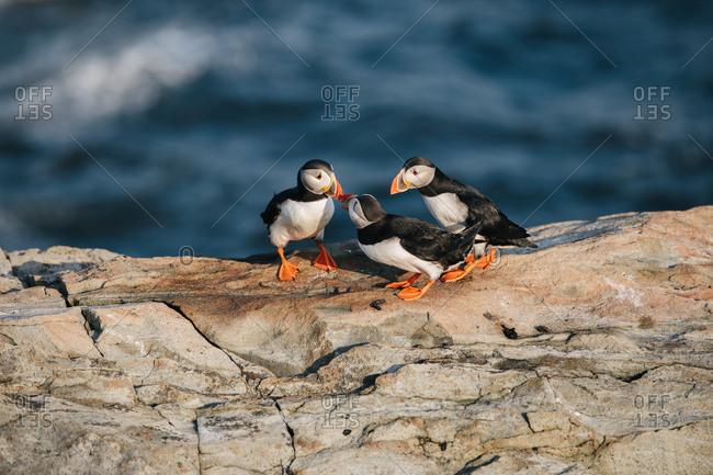 Three Atlantic puffins on rocky coast