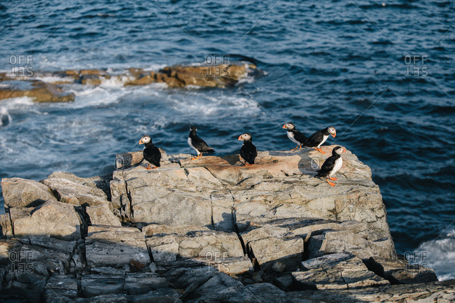 Group of Atlantic puffins on rocky coast