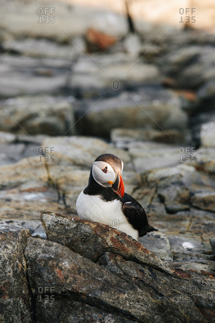 A beautiful Atlantic puffin on rocky coast