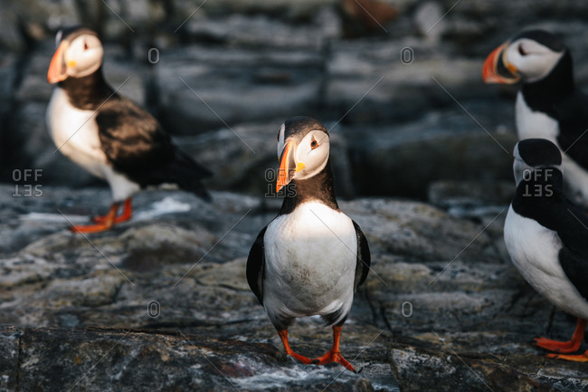 Group of Atlantic puffins on rocky shore