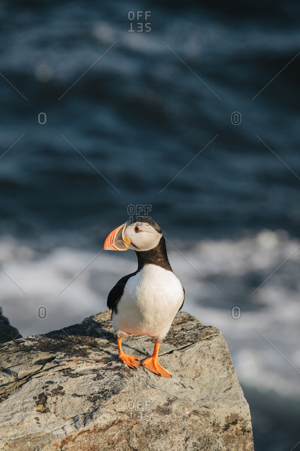 One Atlantic puffin alone on rocky coast