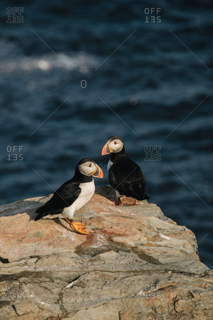 Two Atlantic puffins standing together on rocky cliff