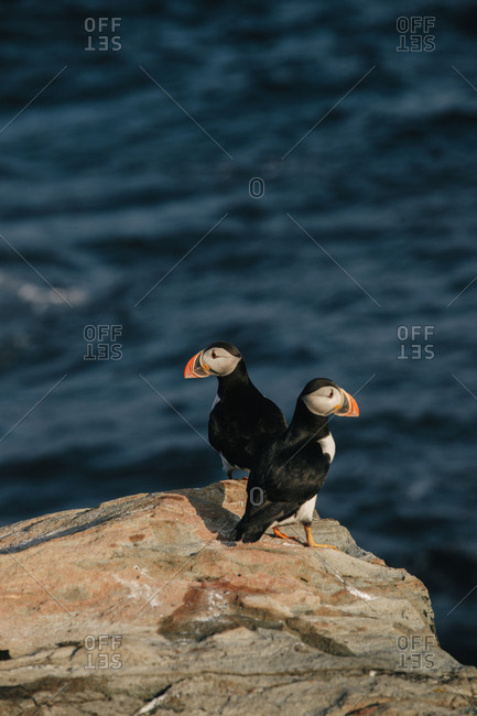 Two Atlantic puffins together on rocky cliff